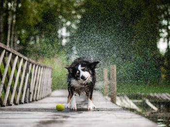 Vesihäntä Koira